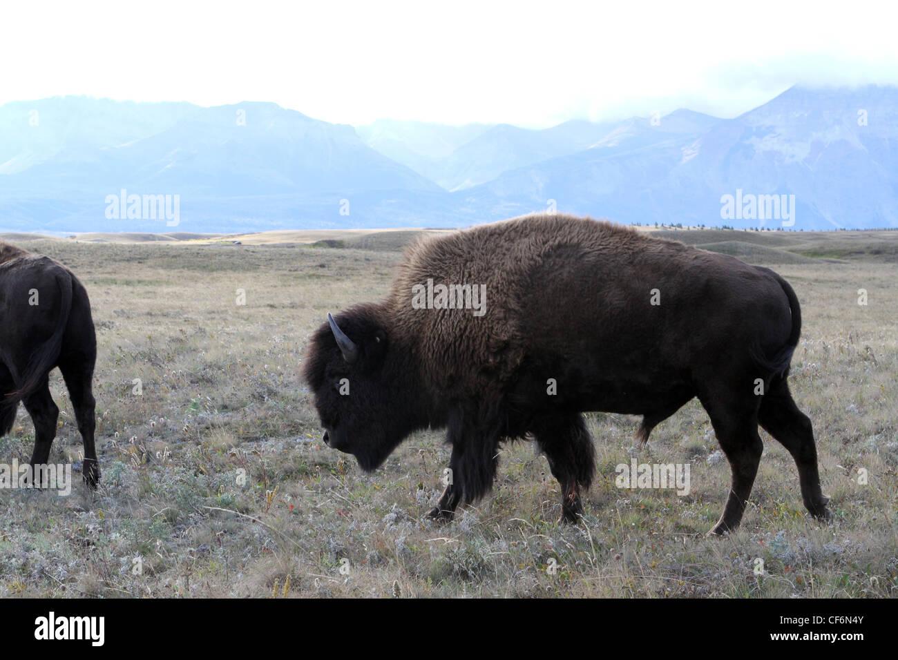 American Bison ; Buffalo ; bos bison - Stock Image