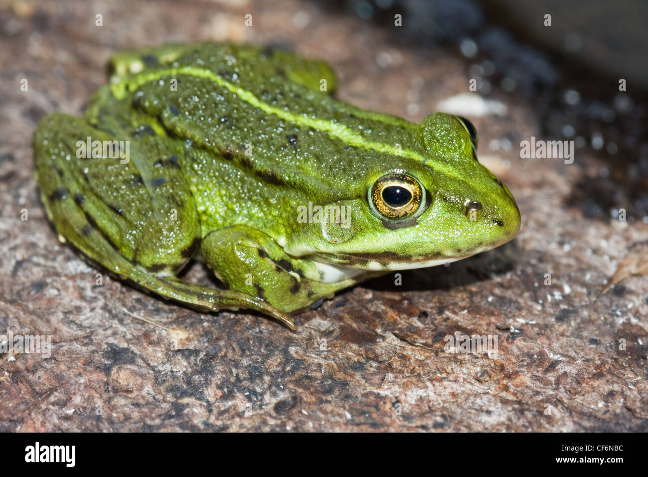 Close-up of a green marsh frog (Rana Ridibunda) on a tree trunk. - Stock Image