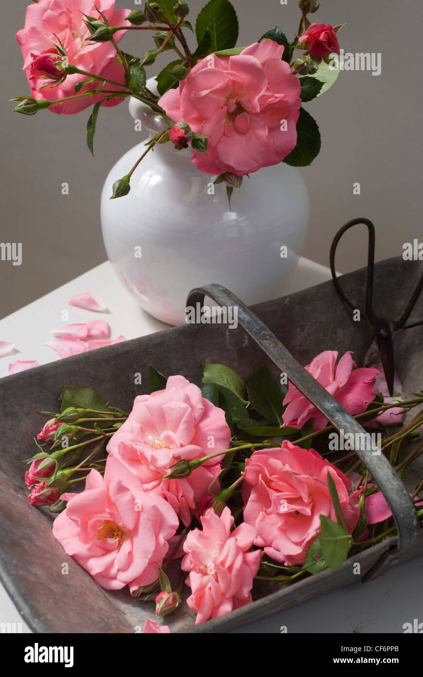 Cutting stems of Rosa Marguerite Anne - Stock Image
