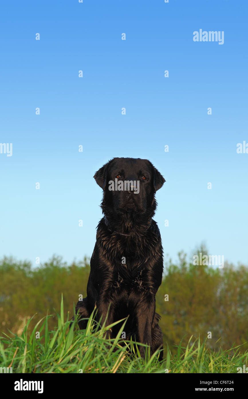 Black Labrador Retriever Dog With Dark Short Hair Sits On A Meadow Stock Photo Alamy