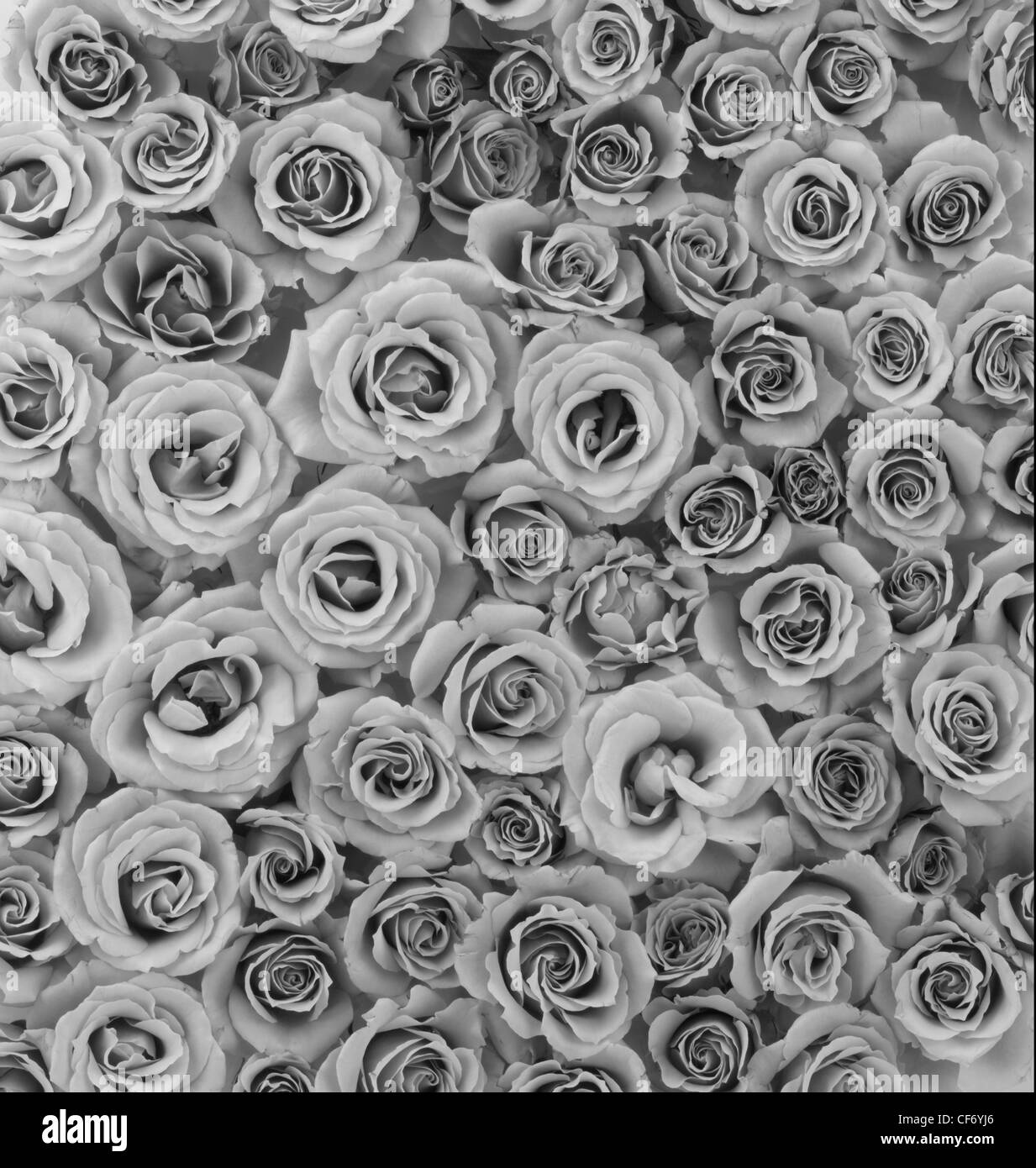 Flowers Tea Roses Vertical Photograph Black White Grey Muted
