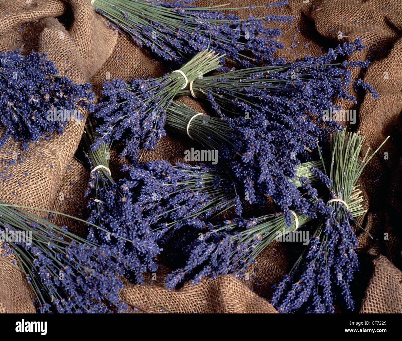Norfolk LavenderBunches of lavender on canvas sacks - Stock Image