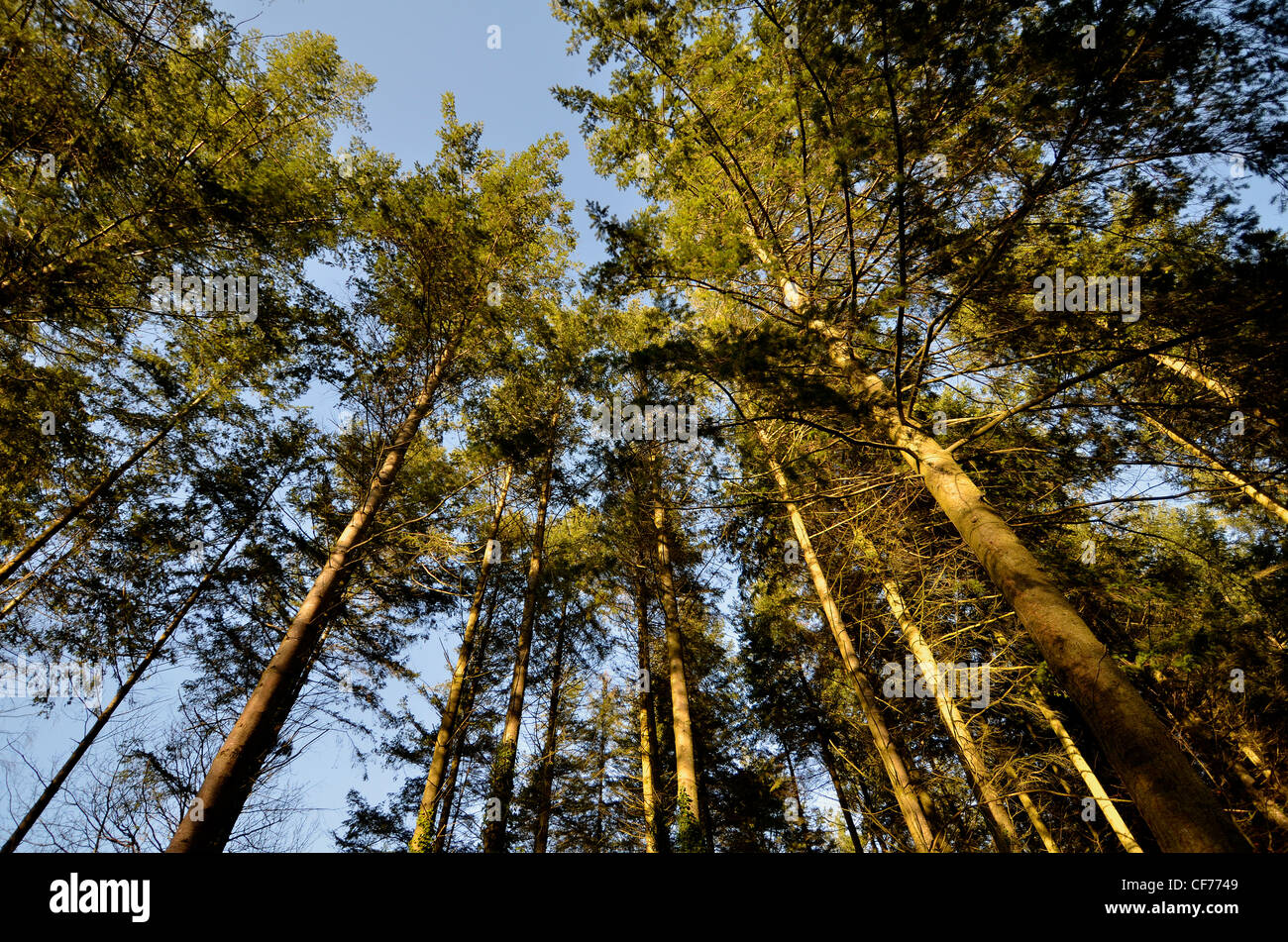 Low angle view of pine/coniferous trees. - Stock Image