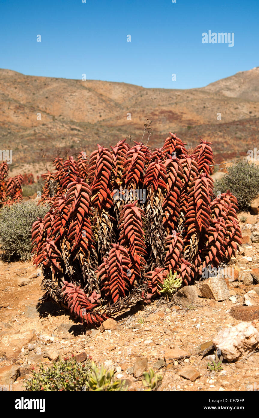Pearson's aloe (Aloe paersonii) at Helskloof Pass, Richtersveld National Park, South Africa - Stock Image