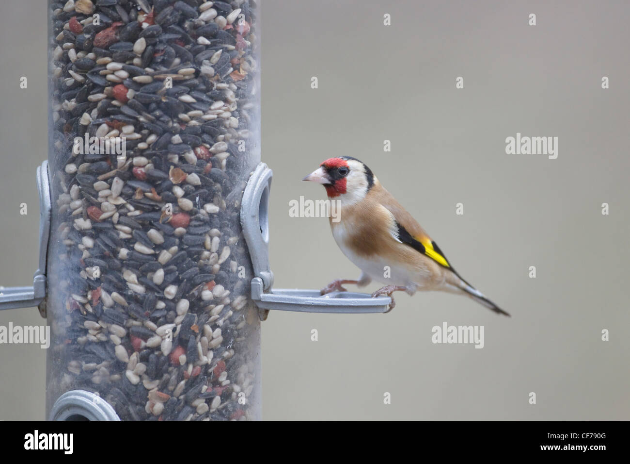 Goldfinch - on bird feeder Carduelis carduelis Hampshire, UK BI022266 - Stock Image