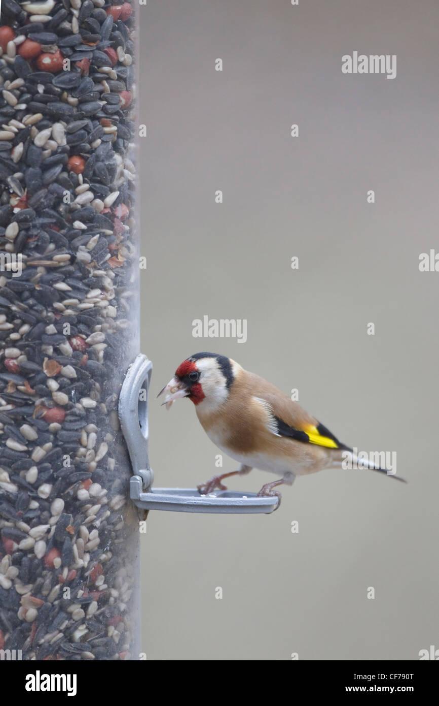 Goldfinch - on bird feeder Carduelis carduelis Hampshire, UK BI022268 - Stock Image