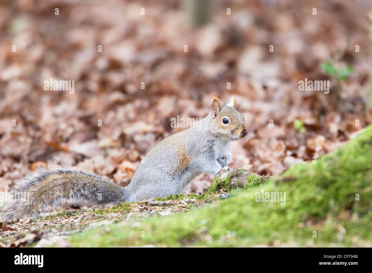 Grey Squirrel - foraging on forest floor Sciurus carolinensis New Forest Hampshire, UK MA002364 Stock Photo