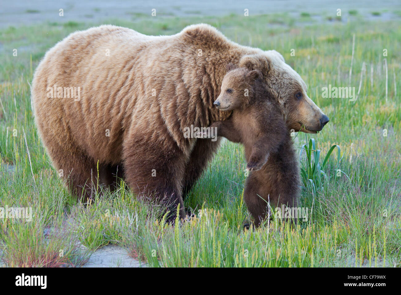 Alaskan brown bear sow with cub during summer - Stock Image