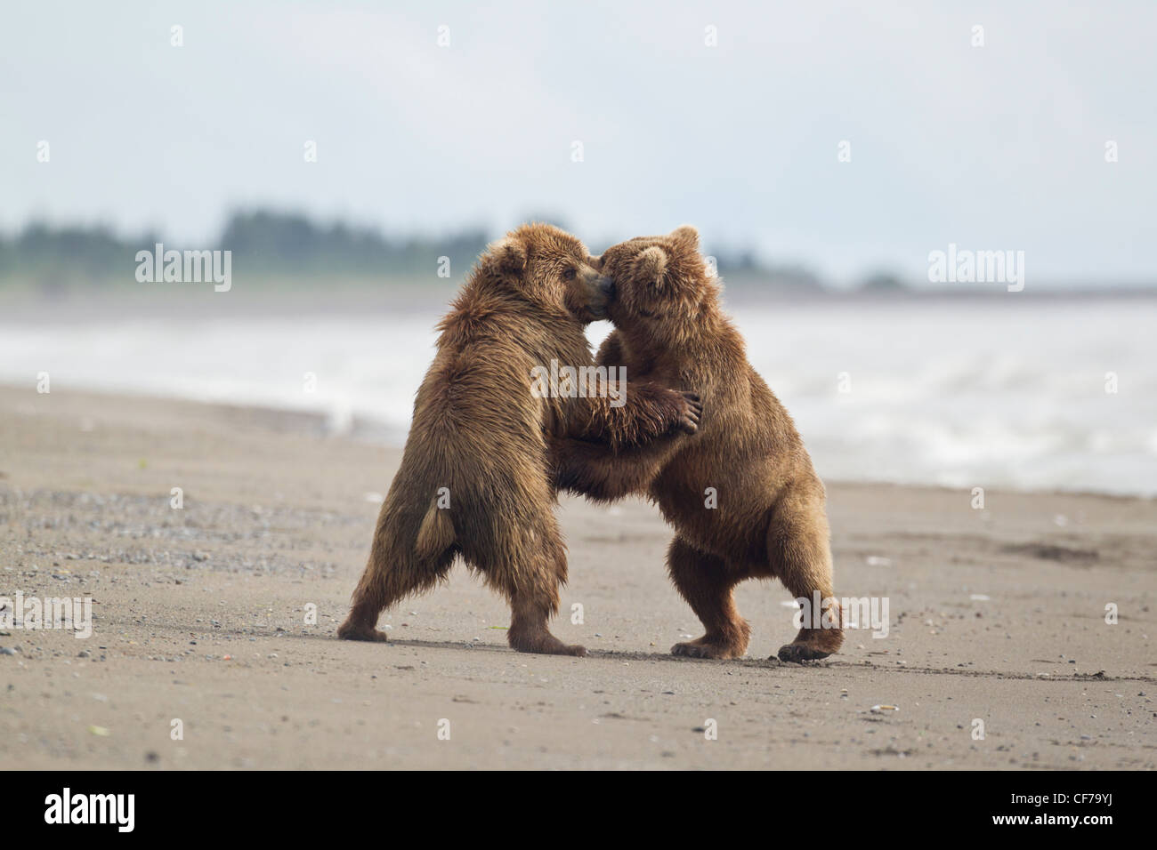 Alaskan brown bears fighting on a beach in Lake Clark National Park - Stock Image
