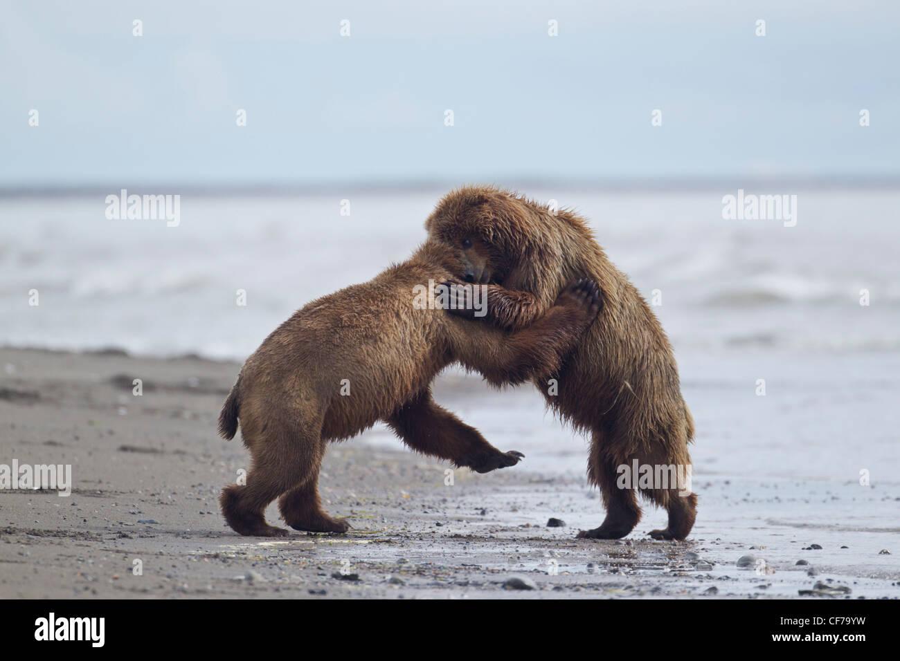 Alaskan brown bears fighting on beach in Lake Clark National Park - Stock Image