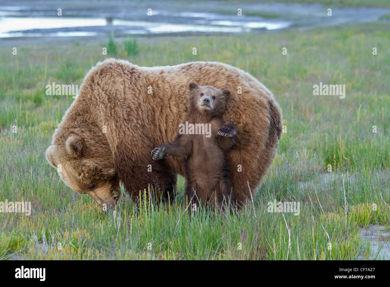 Alaskan brown bear mother with cub in Lake Clark National Park - Stock Image