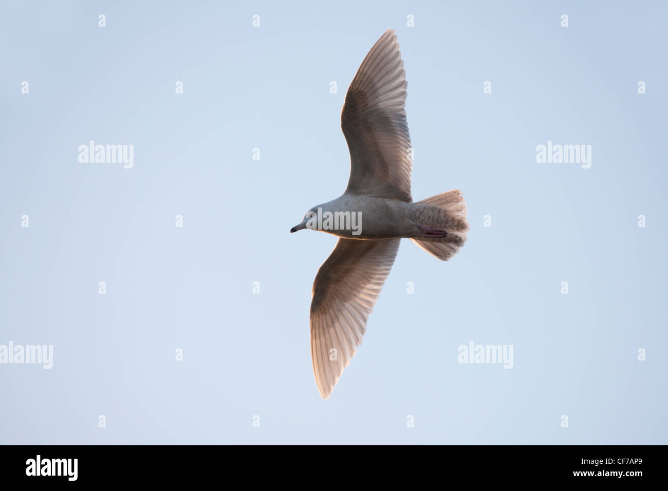 Iceland Gull glaucoides immature 1st winter plumage in flight - Stock Image