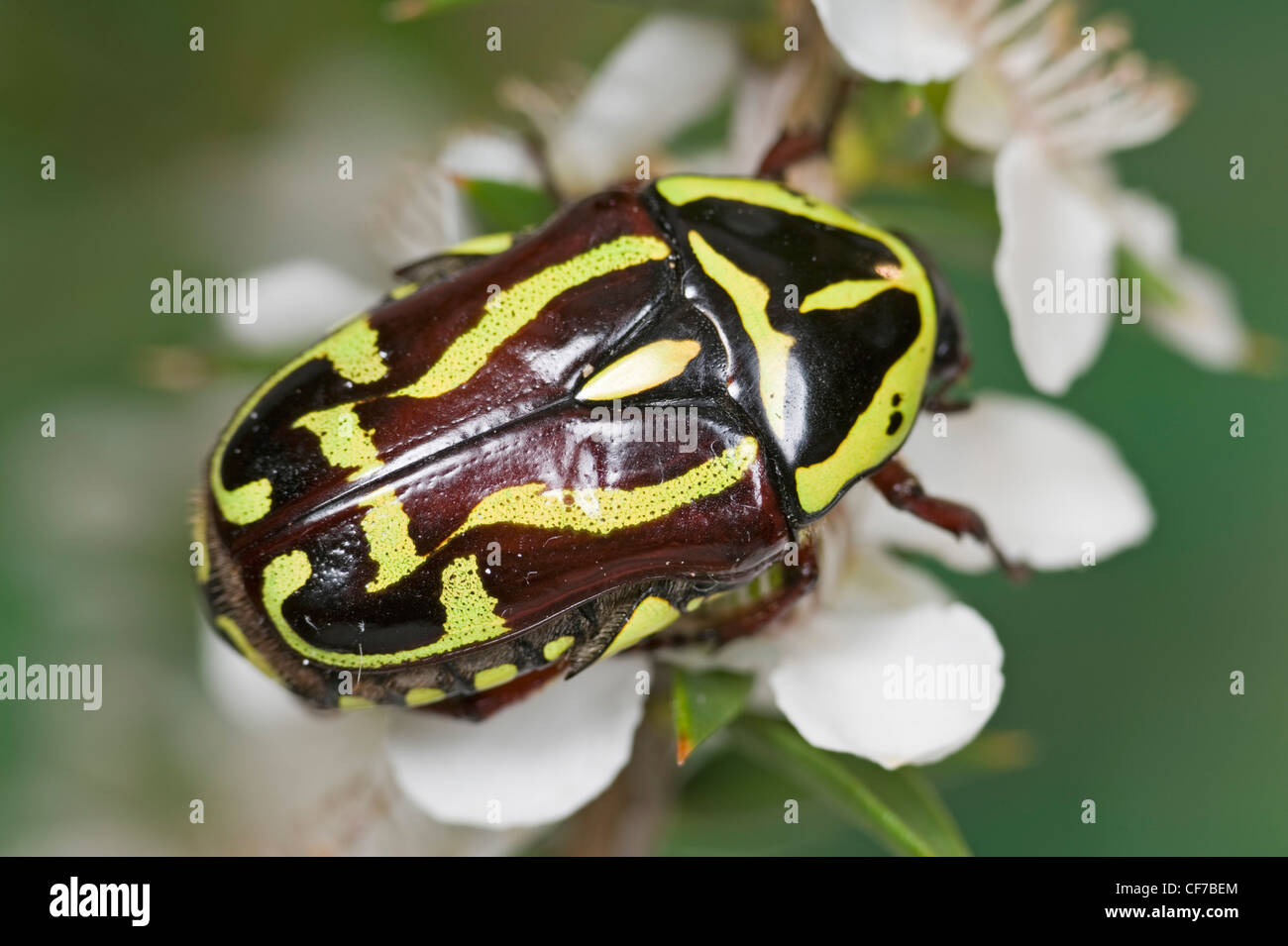 Australian Fiddler beetle showing the striking markings which give it its name - Stock Image
