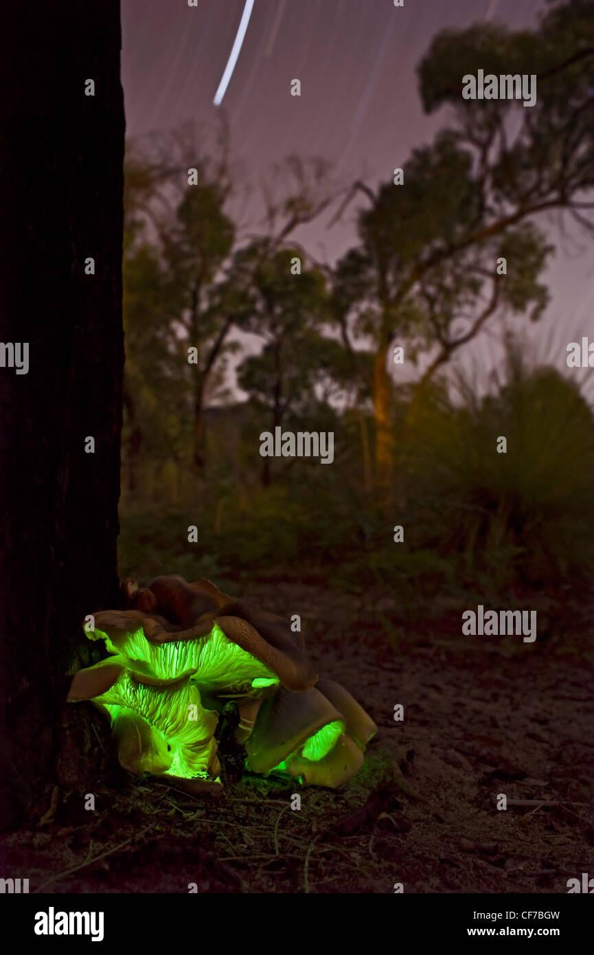 Australian luminous Ghost fungus shot at night with star trails - Stock Image