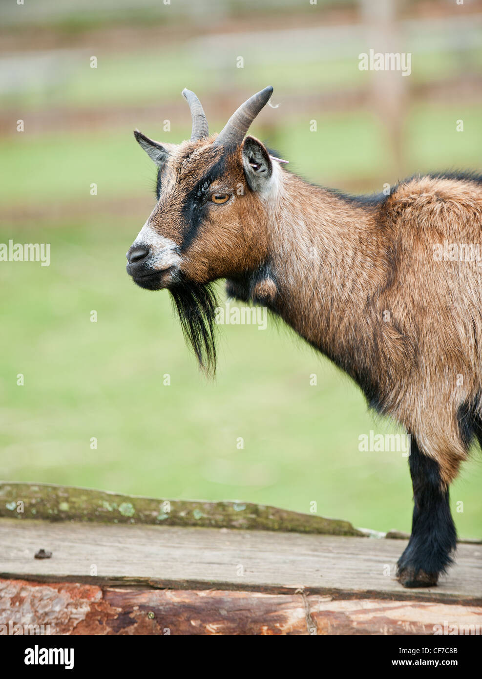 A Pygmy Goat at the Paradise Park Wildife Sanctuary in Cornwall - Stock Image
