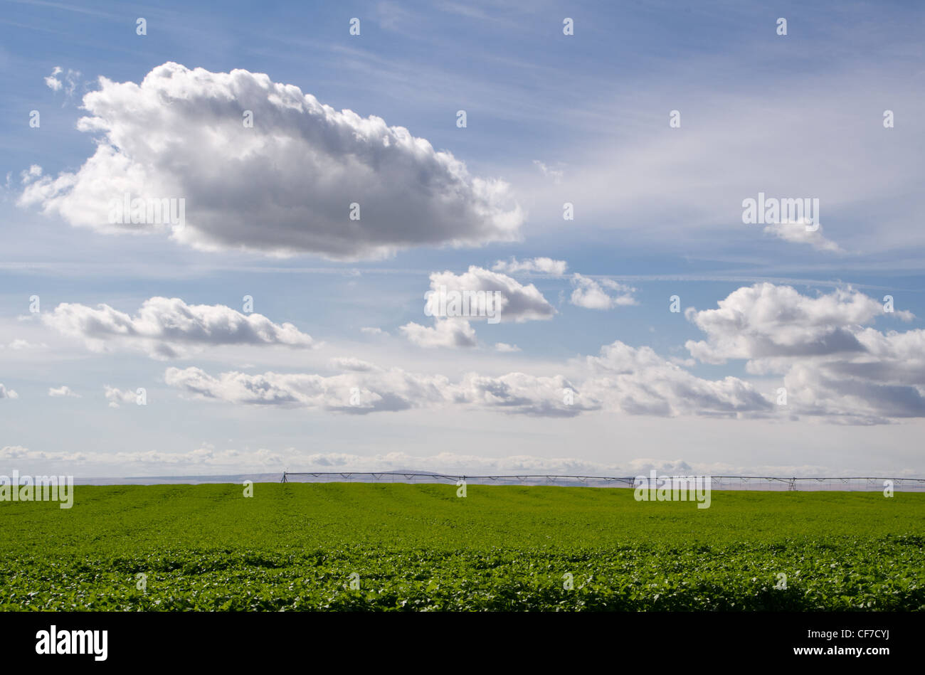 A field of potatoes is being irrigated under a sky with white clouds - Stock Image