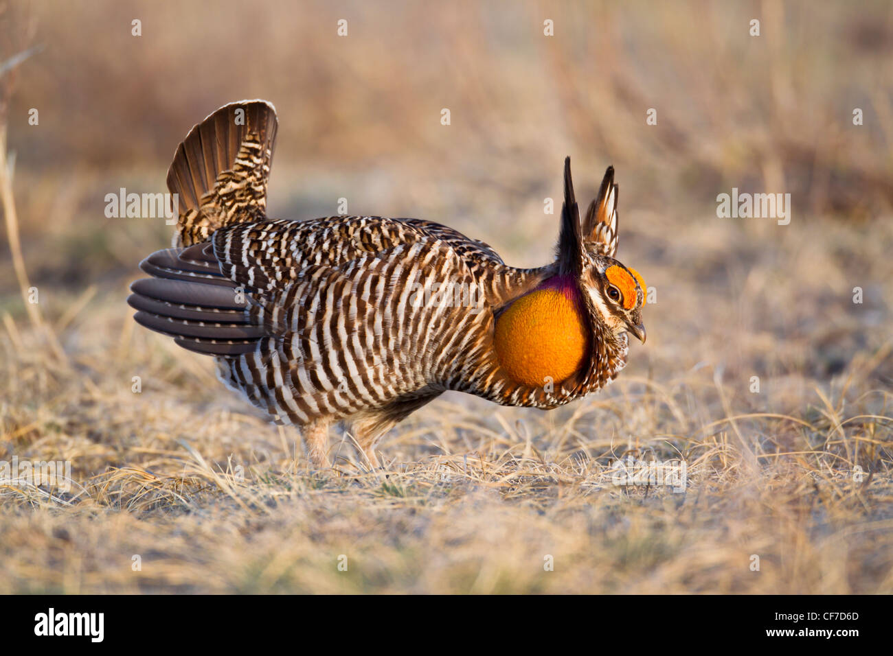 Male greater prairie chicken on lek in spring - Stock Image