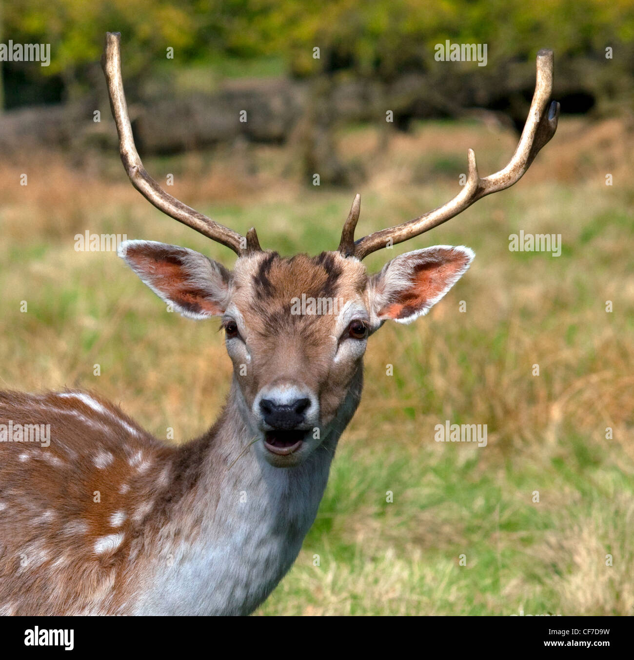 Fallow deer at Dunham Massey, an NT (National Trust) property near Bowden, Altrincham, Trafford, Manchester , Cheshire, - Stock Image