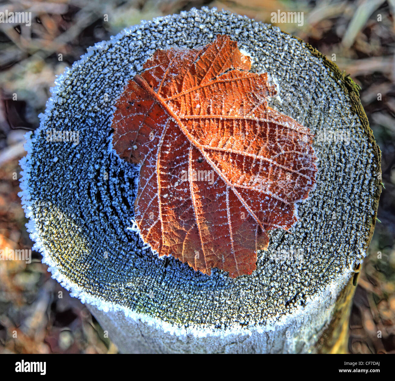 Frosted autumn Leaf on a stump in some rare winter sunshine, Marbury country park, Northwich, Cheshire England UK - Stock Image