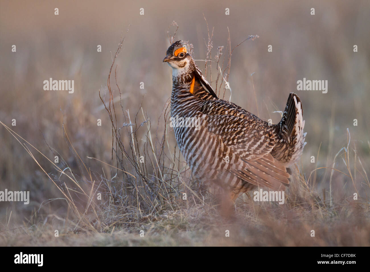 Male greater prairie chicken on lek in spring - Stock Image