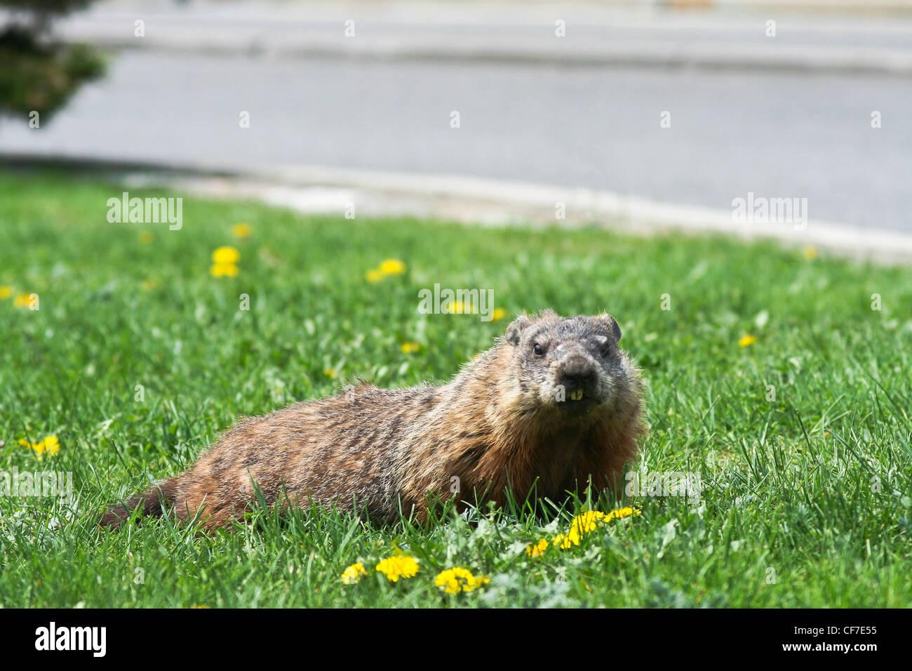 Marmot marmota, groundhog,Sciuridae - Stock Image