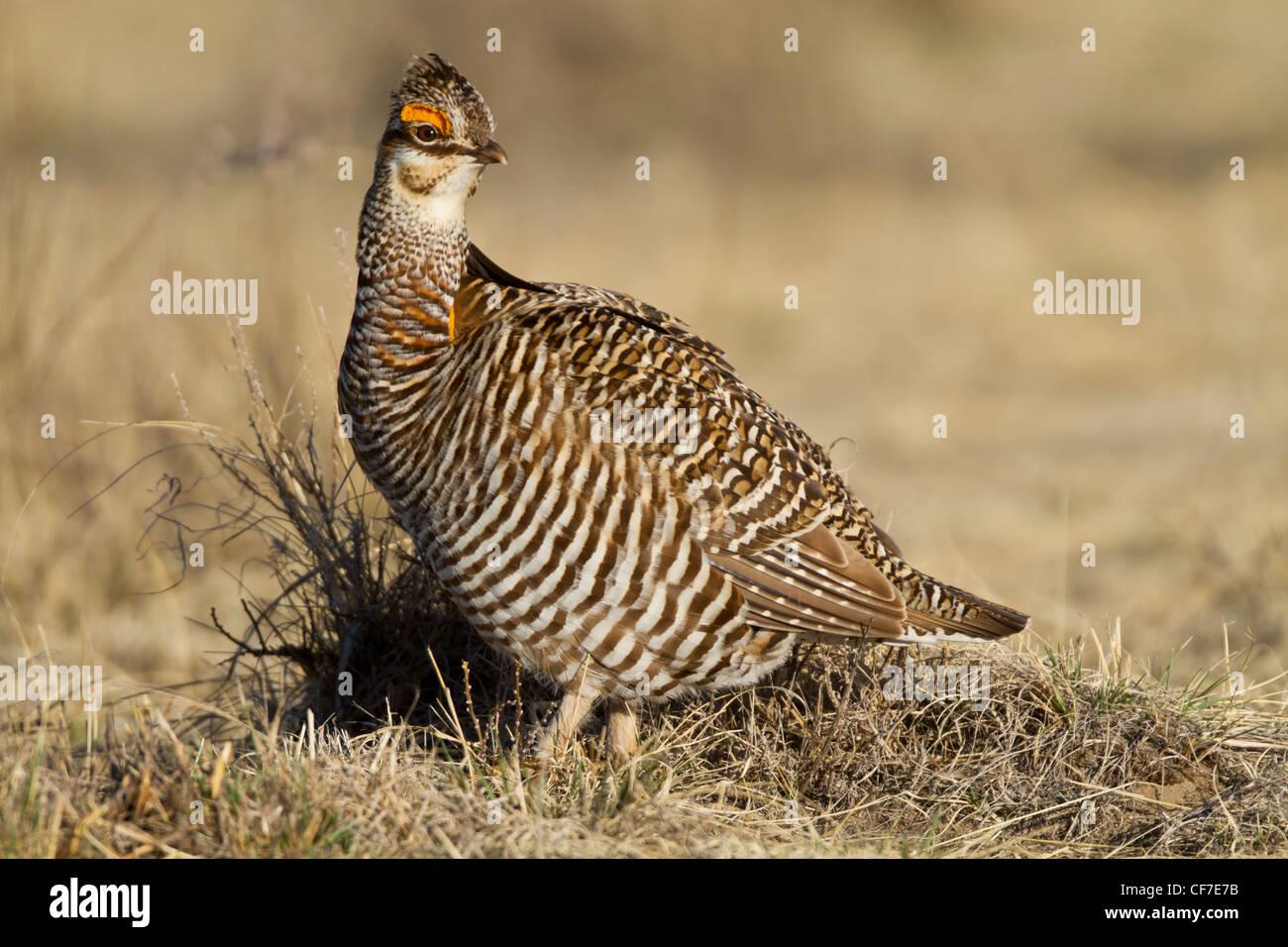 Greater prairie chicken on lek during spring in Eastern Colorado - Stock Image