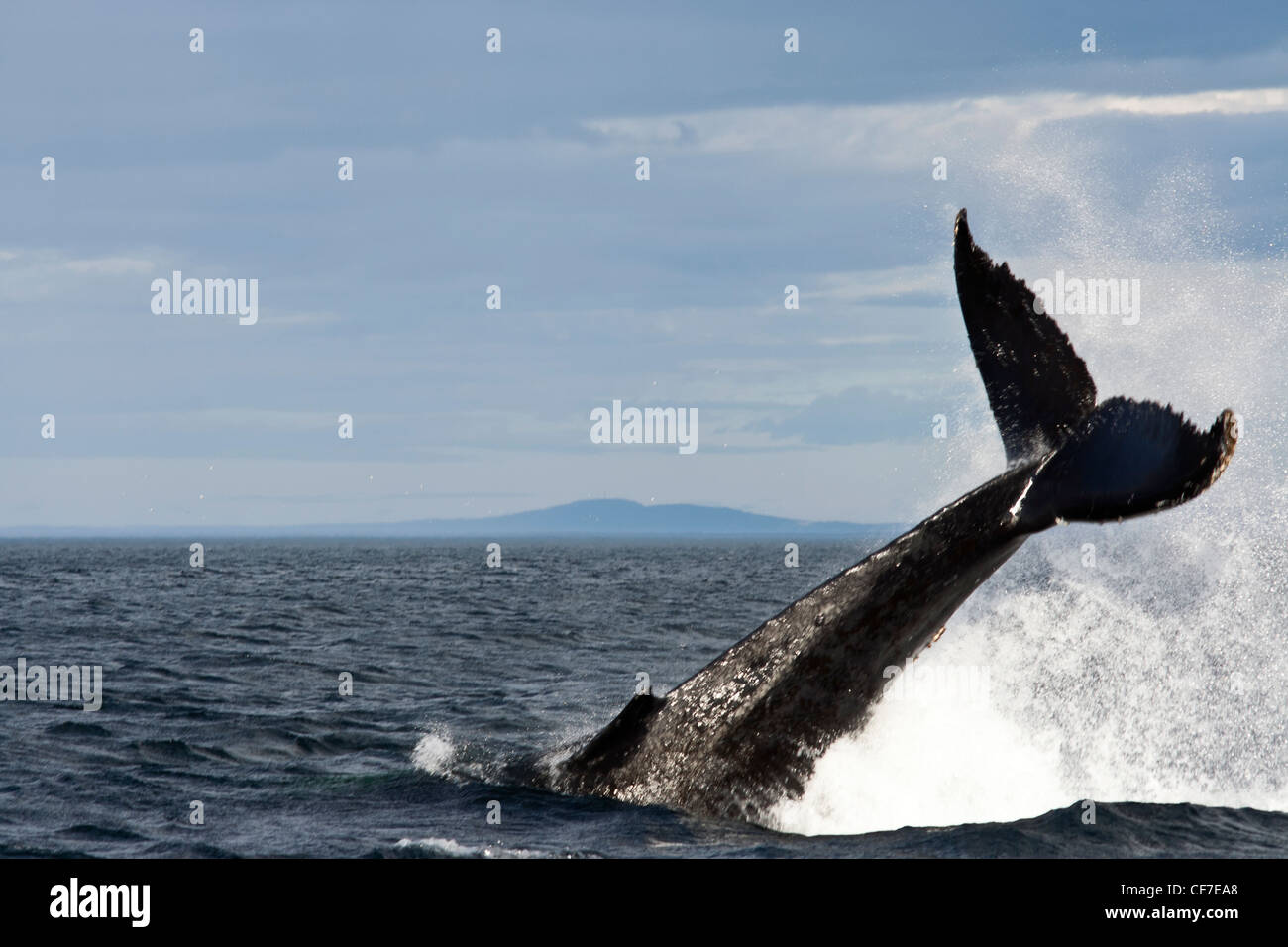 Blue whale diving in St Lawrence at Tadoussac, Quebec, Canada - Stock Image