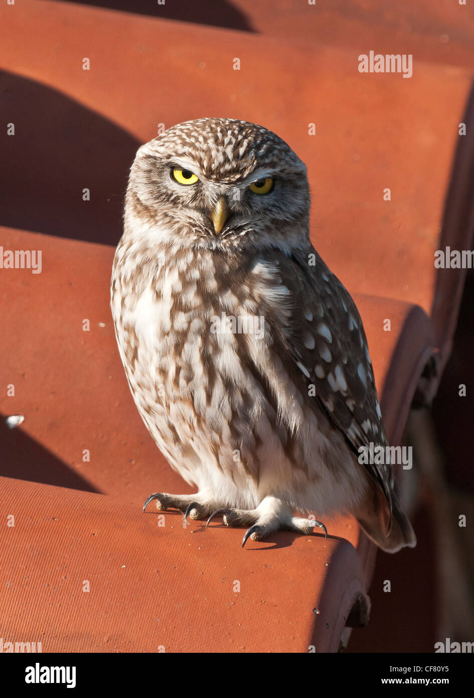 A Little Owl (Athene Noctua), in the Mani, Peloponnese, Southern Greece. - Stock Image