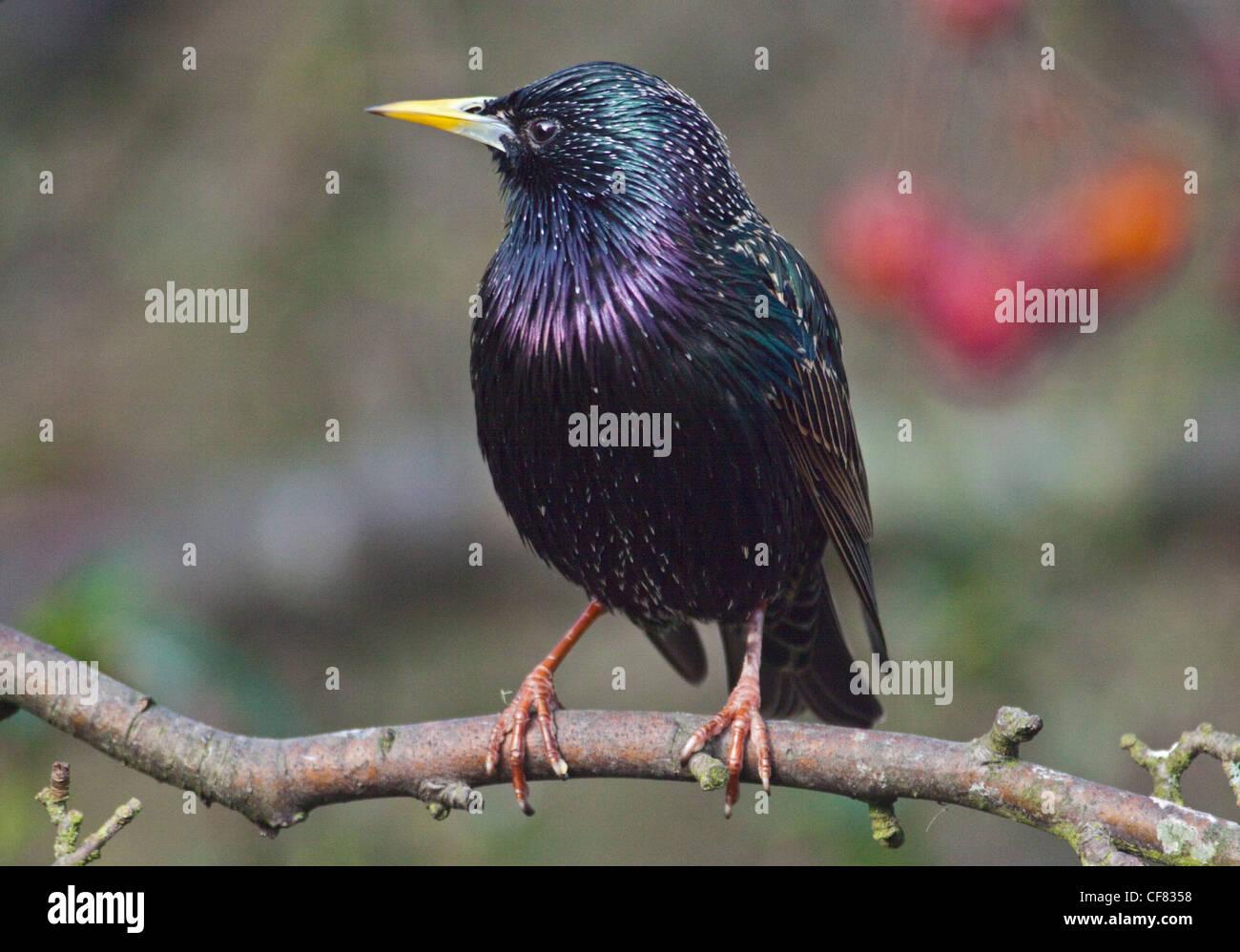 Common Starling (sturnus vulgaris) - Stock Image
