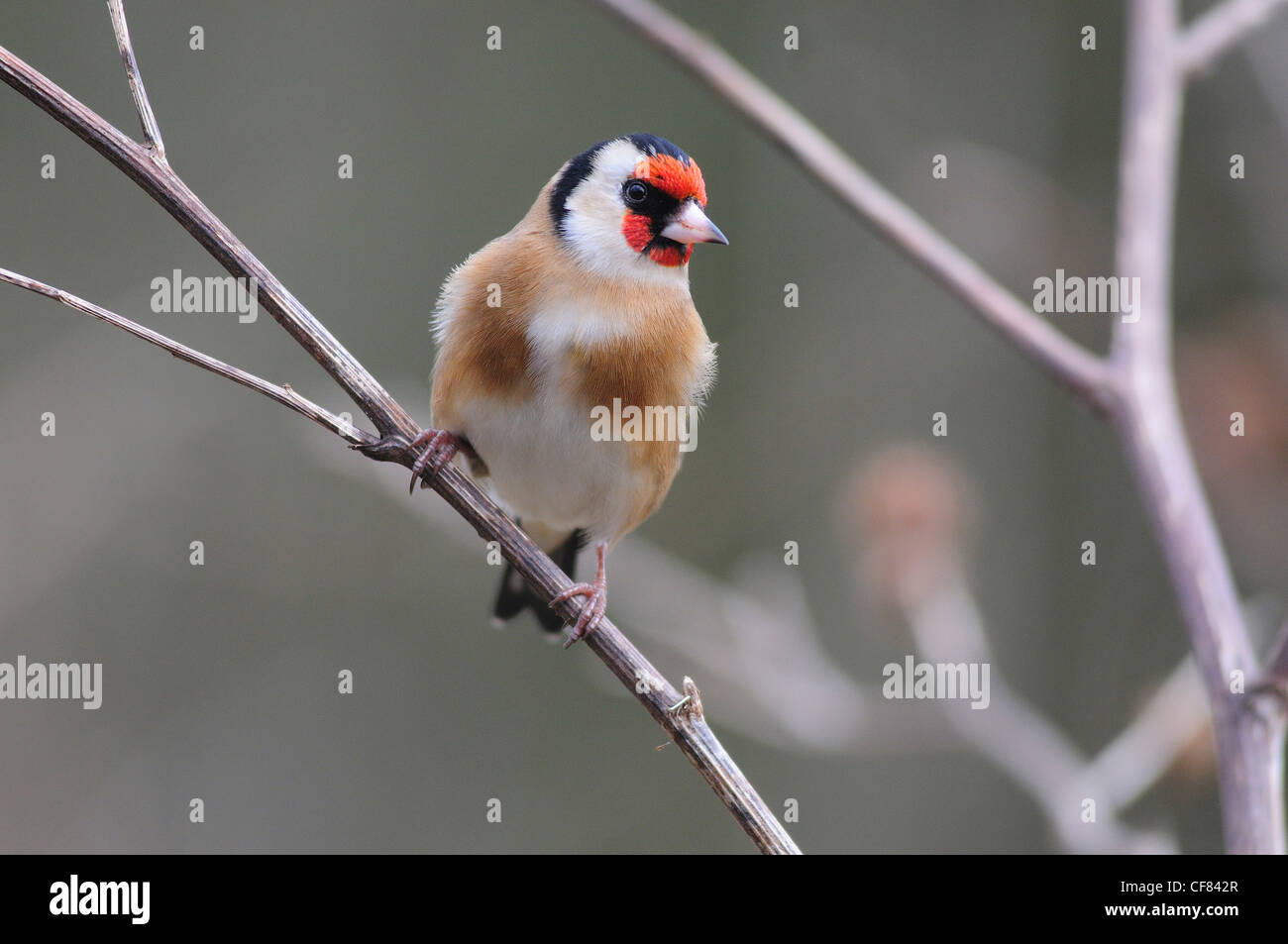 A goldfinch perched on a twig UK - Stock Image
