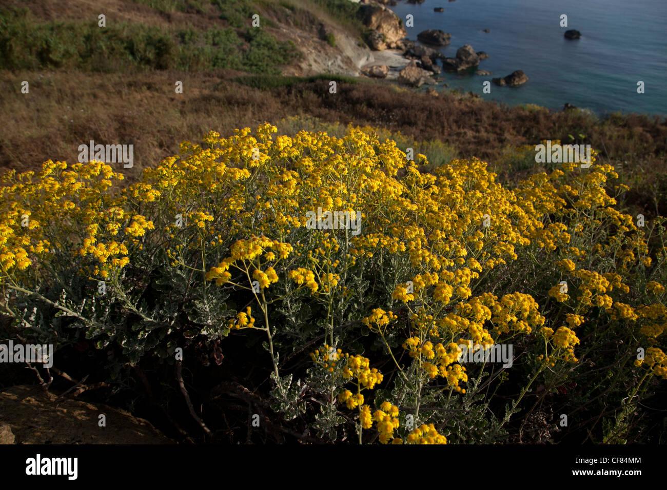 Coastal plant called sea ragwort flower in June in Gozo in Malta. - Stock Image