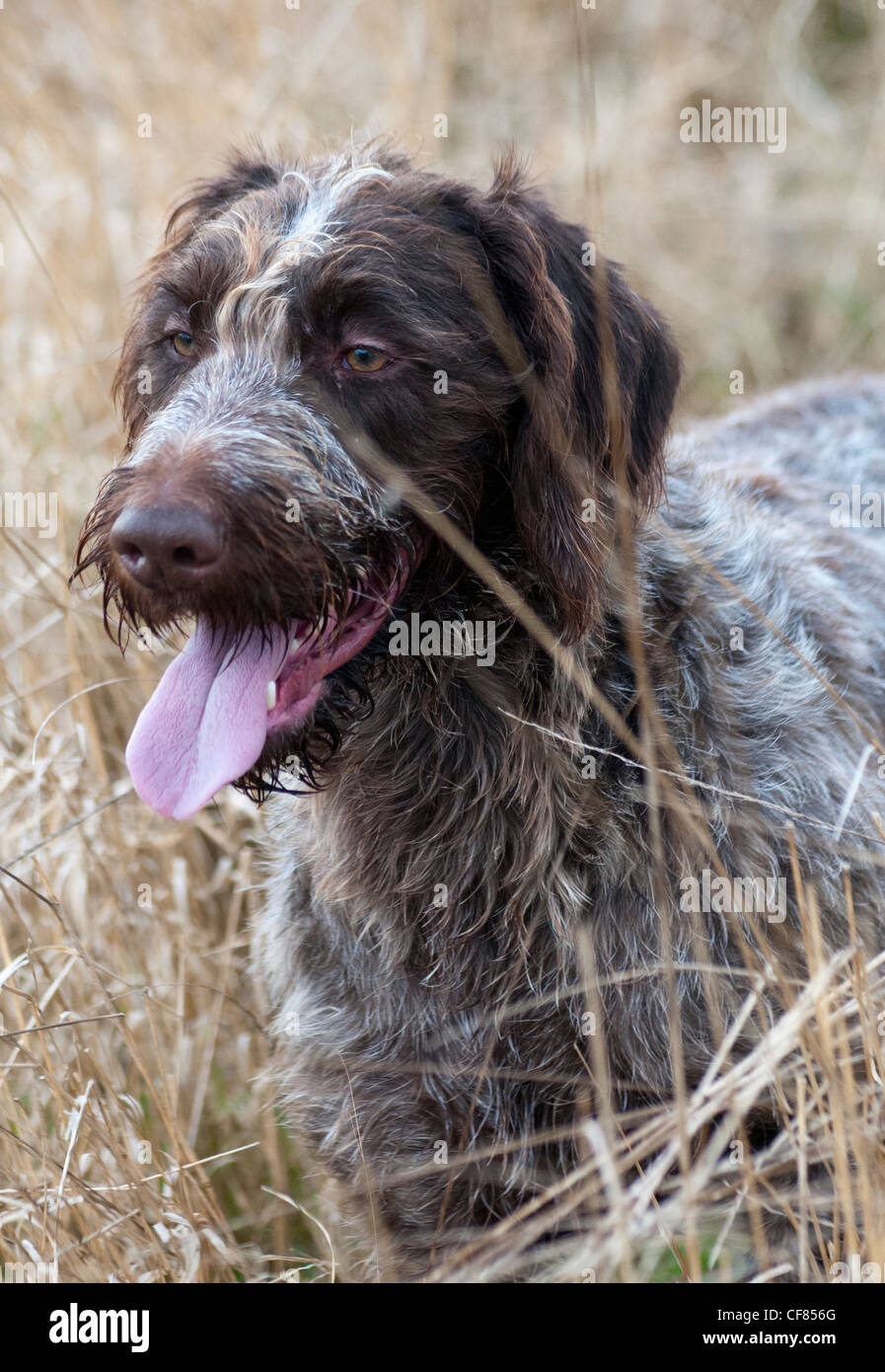 Portrait of a German Wired Haired Pointer dog - Stock Image