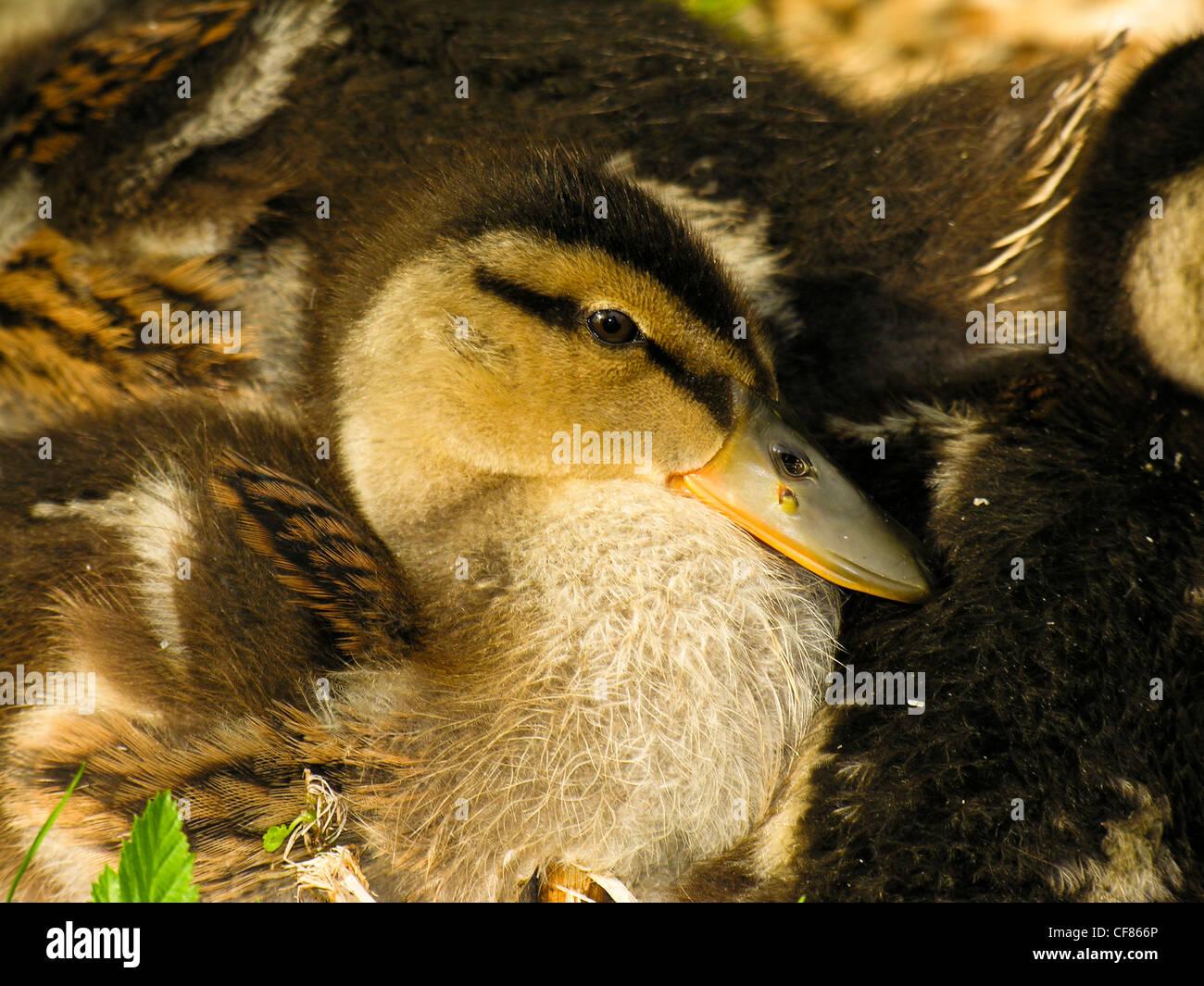 Mallard ducklings, Hever Castle, UK - Stock Image