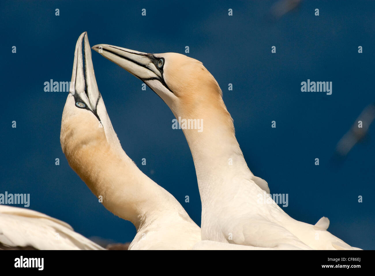Gannets calling, Bass Rock, UK - Stock Image