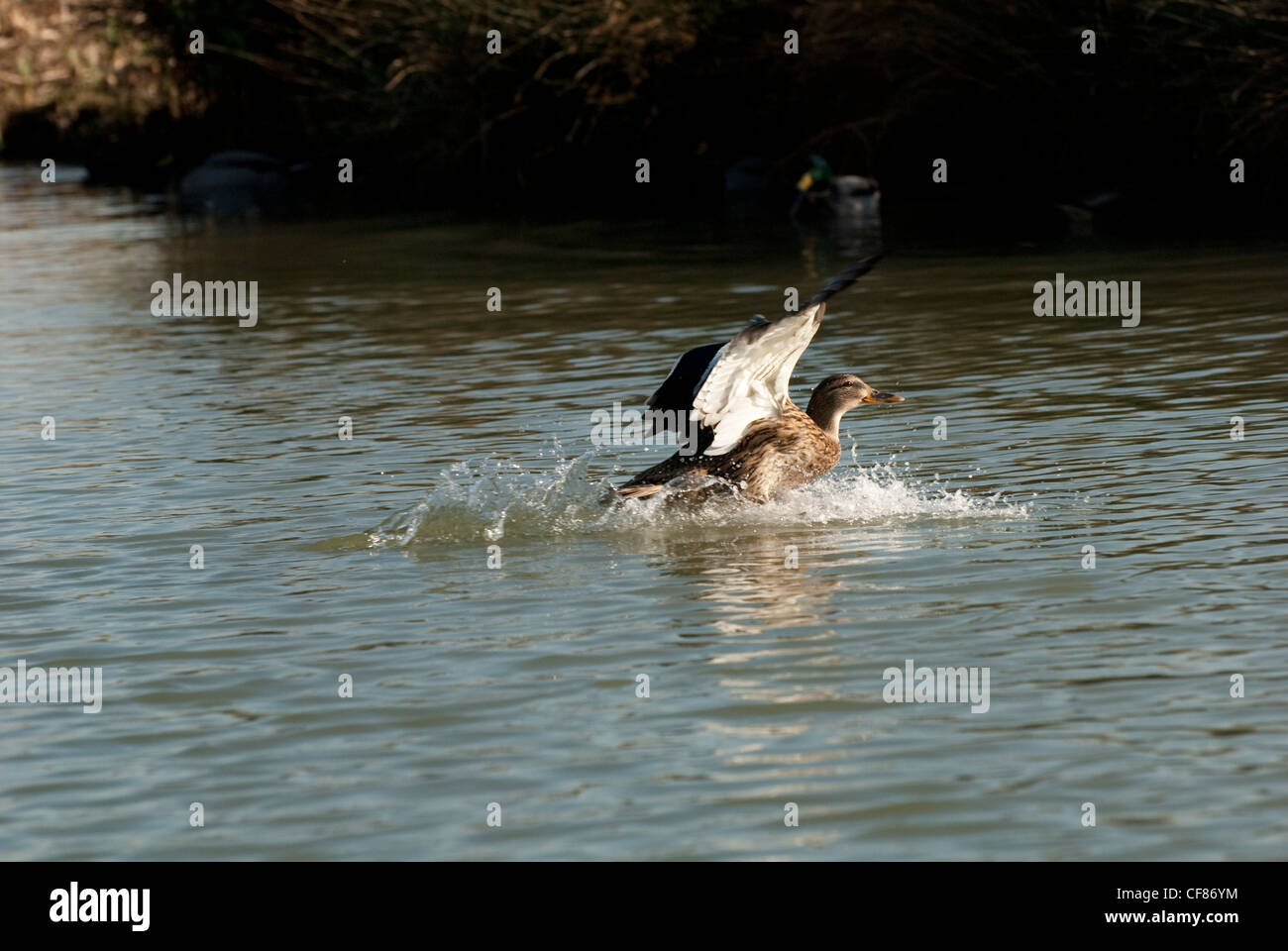 Mallard, WWT (Wildfowl and Wetlands Trust) London Wetland Centre, UK - Stock Image