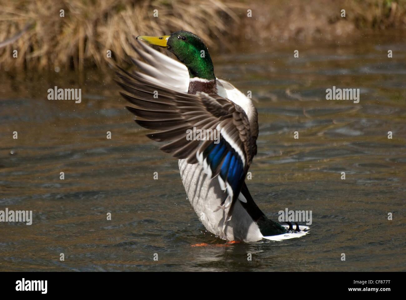Mallard flapping, WWT Arundel Wetland Centre, UK - Stock Image