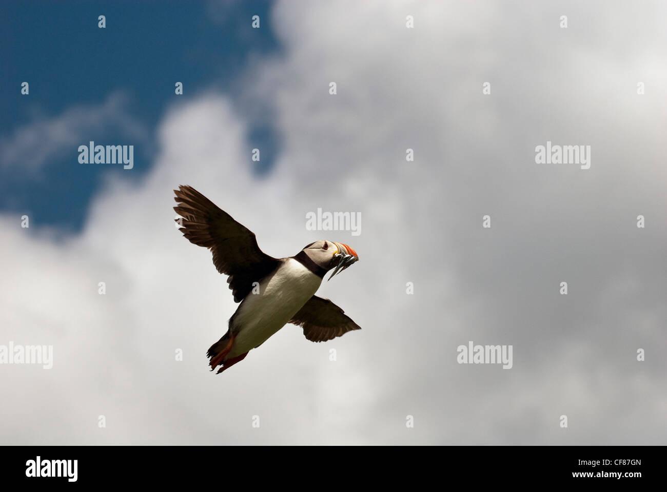 Puffin flying with fish in beak, Inner Farne Island, the Farne Islands, UK Stock Photo