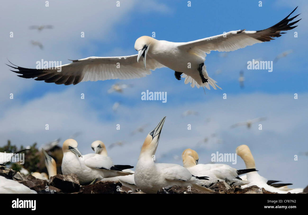 Gannet flying over colony, Bass Rock, UK - Stock Image