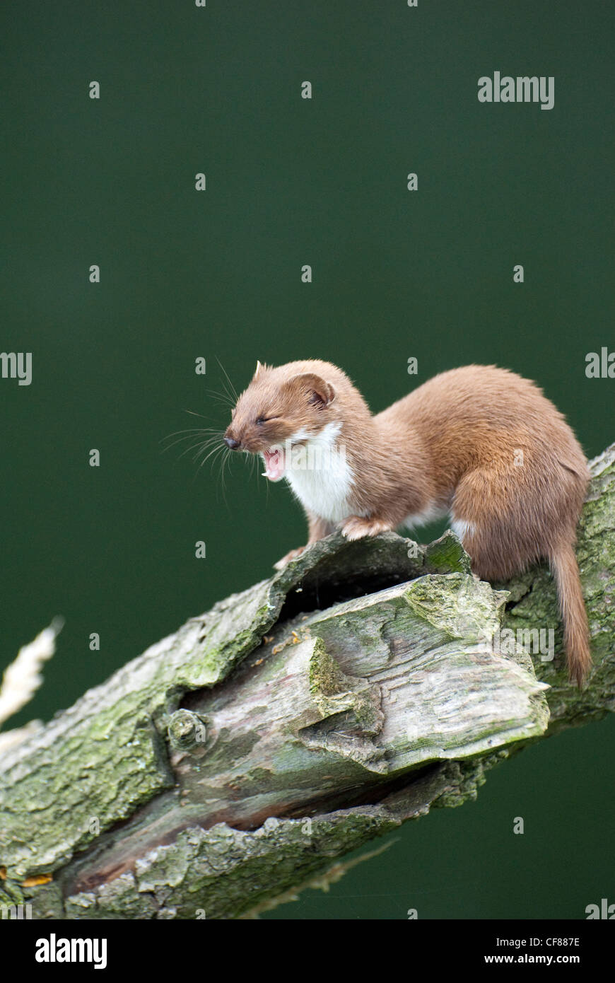 Weasel yawning,  British Wildlife Centre, UK - Stock Image