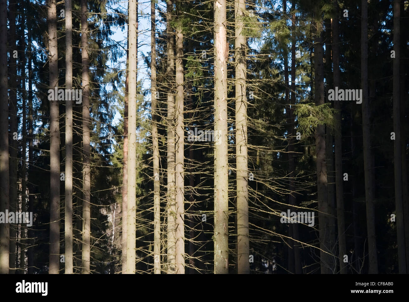Spruces in sunlight - Stock Image