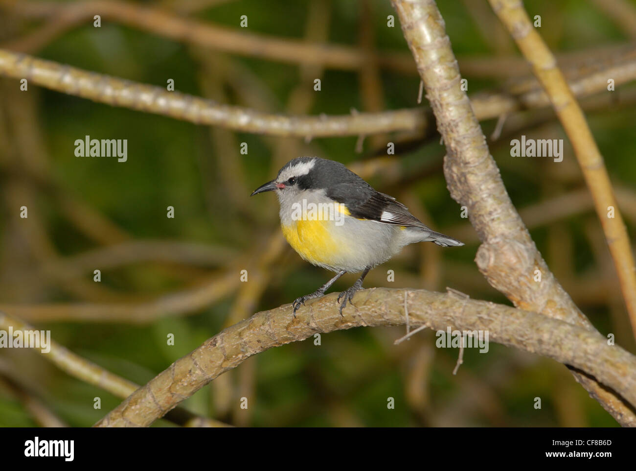 Yellow breasted Passerine bird perched on a branch - Stock Image