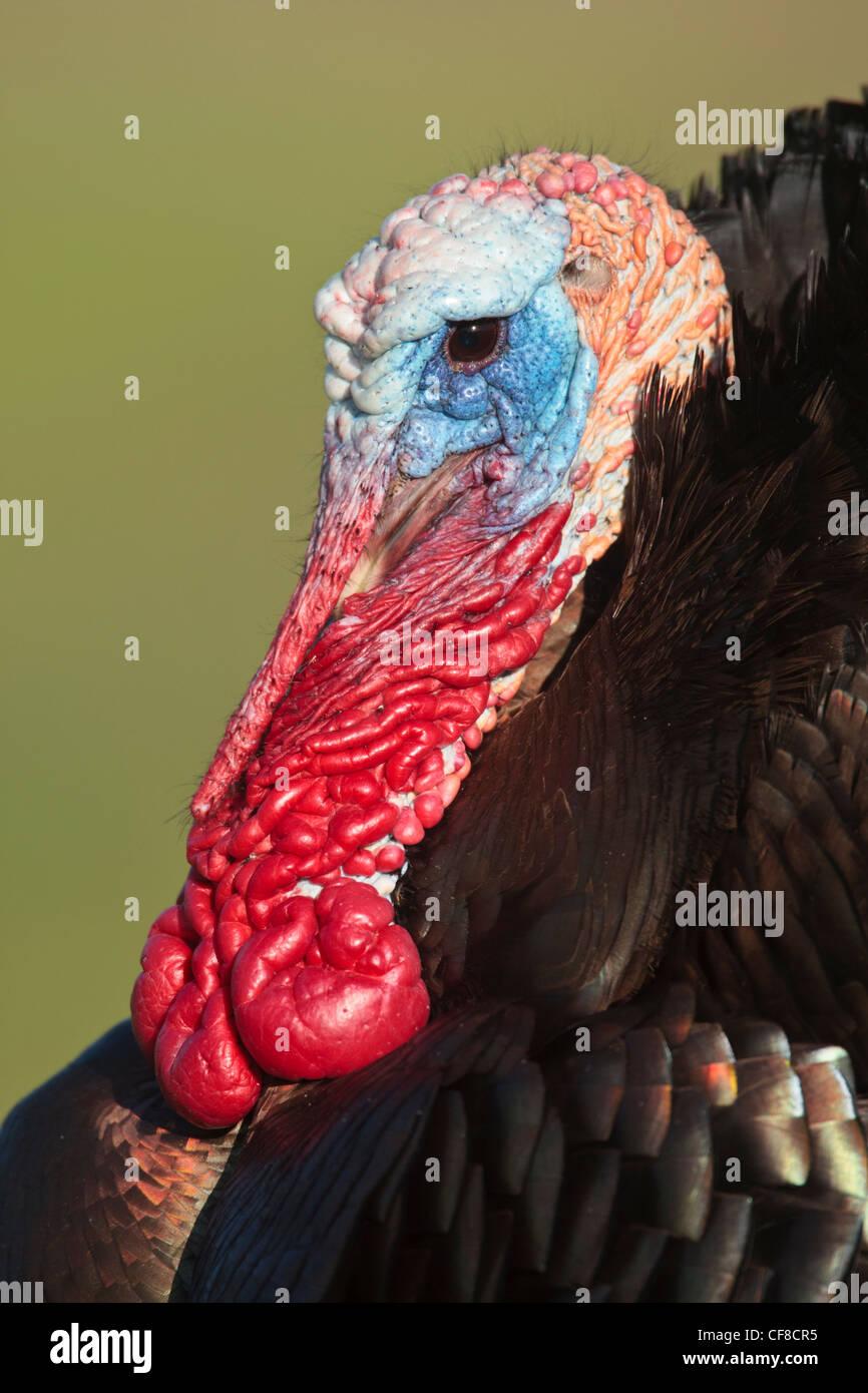 Rio-grande wild turkey in Texas - Stock Image