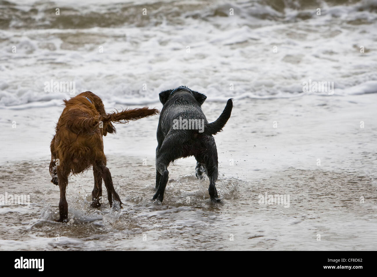 Two dogs paddling in surf on beach, Dorset, England Stock Photo