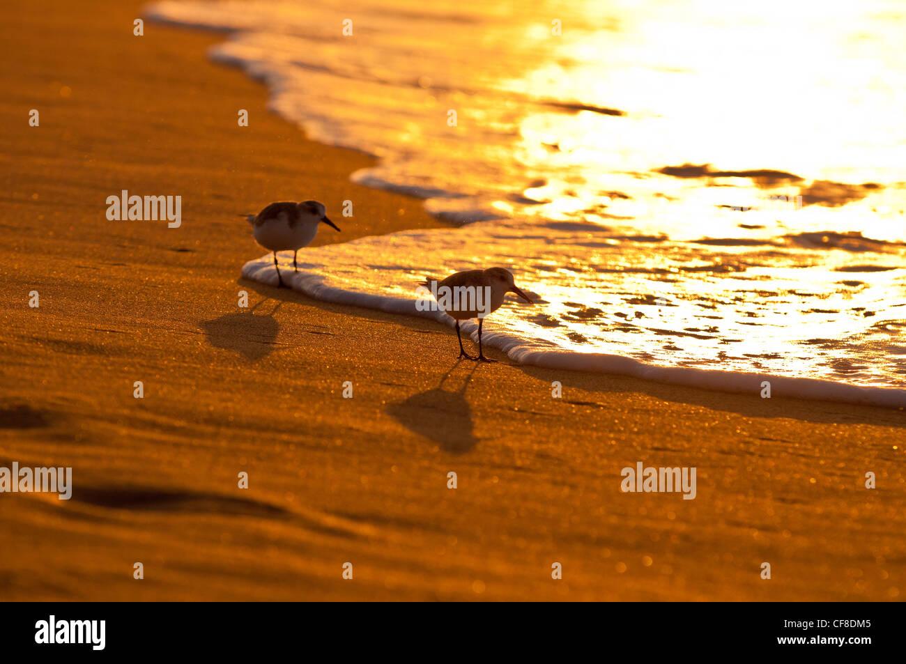 Sanderlings-'Hunakai' in Hawaiian language (Calidris alba), Polihale Beach, Kauai, Hawaii - Stock Image