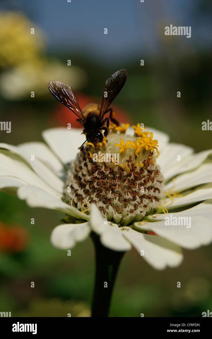 Honeybee sucking Honey from White Dahlia flower.A Lake Shore Garden flower closeup scene from Kerala,India - Stock Image