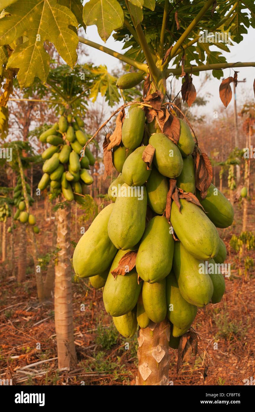 Elk208-2384v Thailand, Mae Chaem, papaya plantation - Stock Image