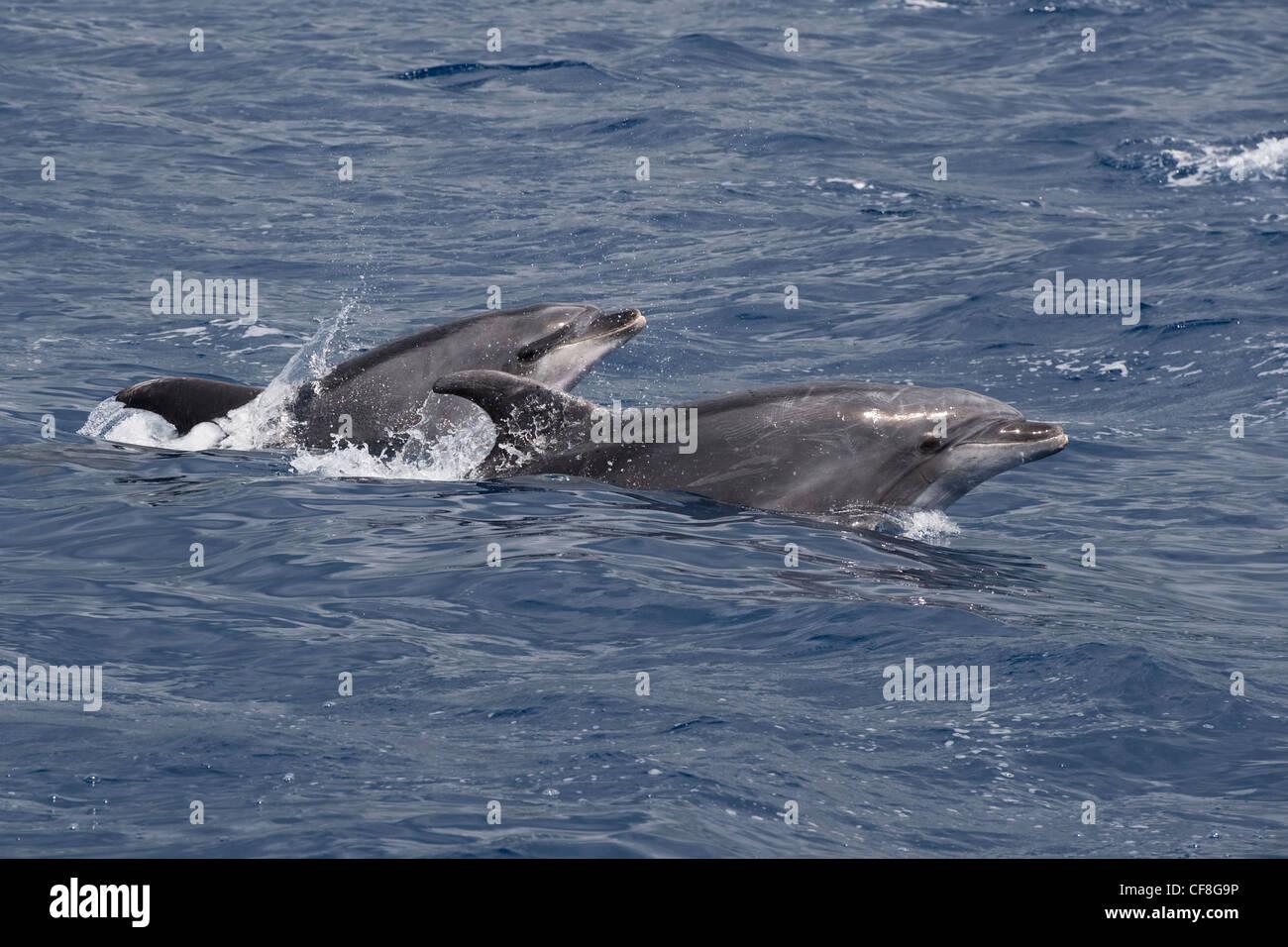 Common Bottlenose Dolphins (Tursiops truncatus) two adult animals porpoising. Azores, Atlantic Ocean. - Stock Image