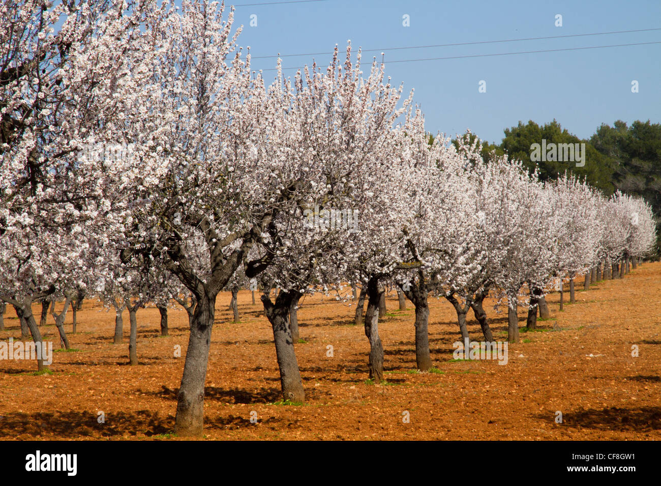 Almond tree field blossoming in spring Majorca Mallorca Balearic Stock  Photo - Alamy