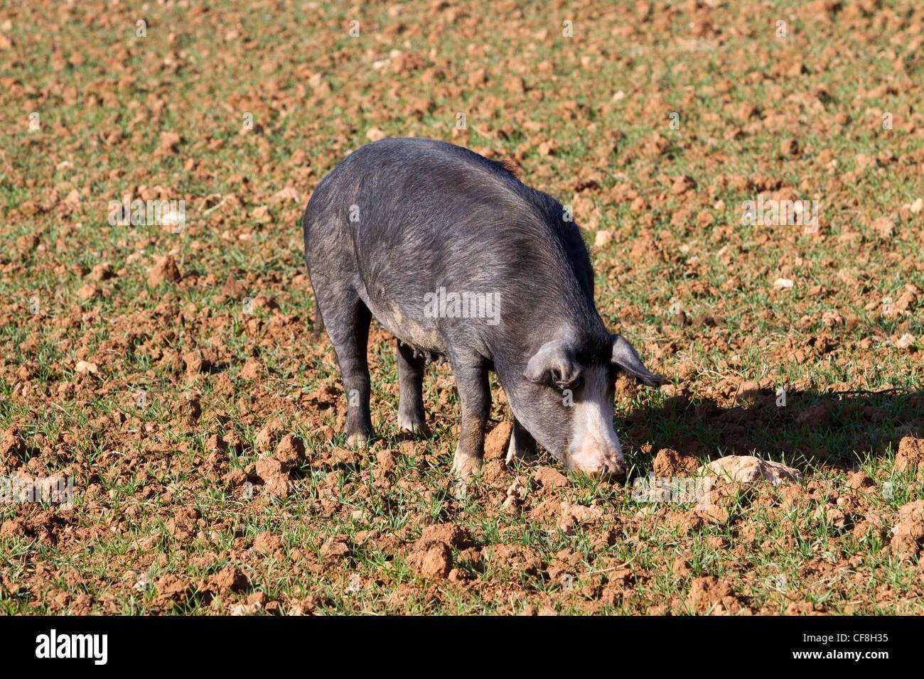 Black pig hiberian Pata Negra Majorcan Mallorca Spain - Stock Image