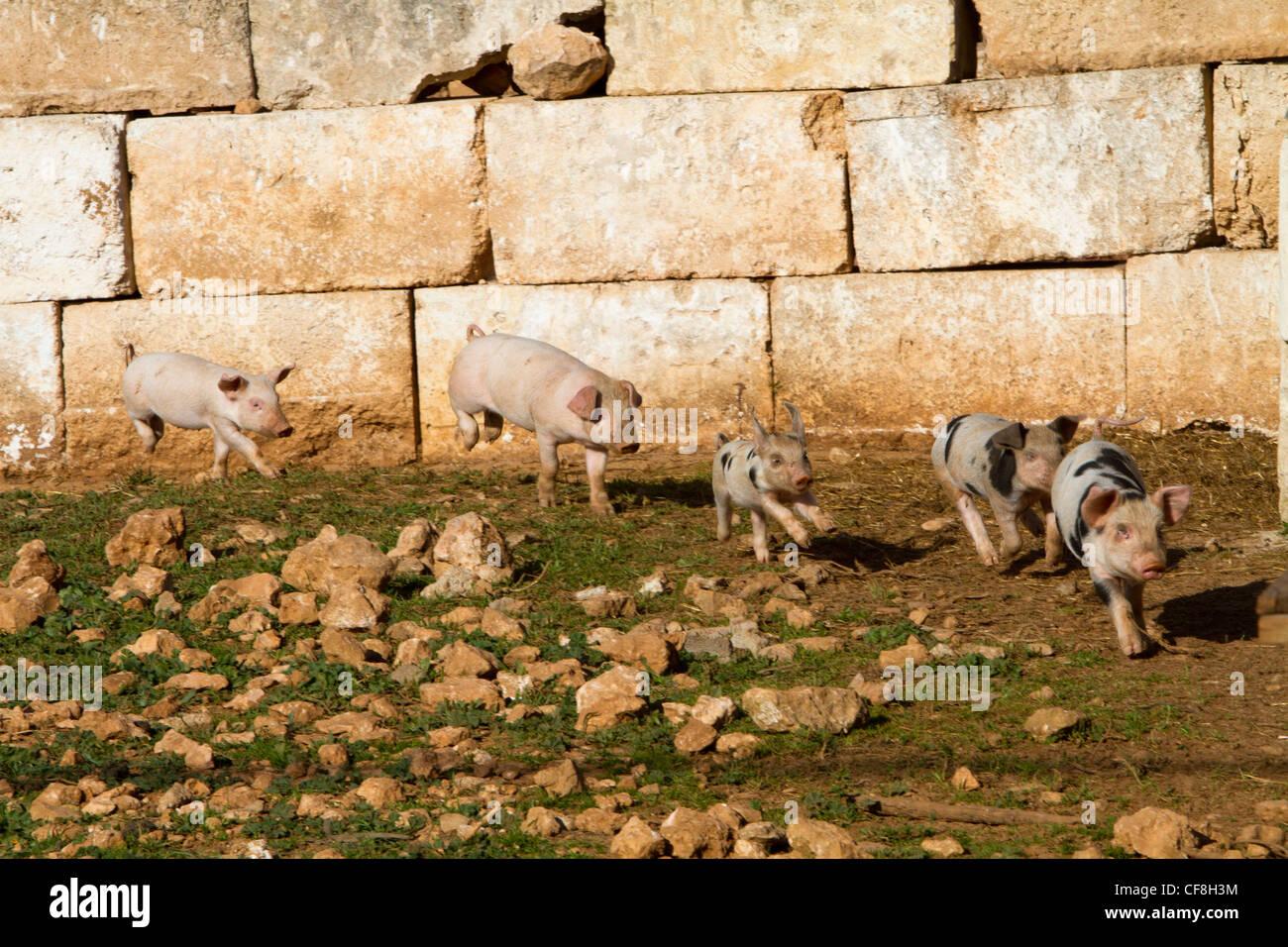 piglets hiberian Majorcan Mallorca Spain - Stock Image